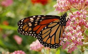 The monarch butterfly. (Photo courtesy Wikimedia Commons)
