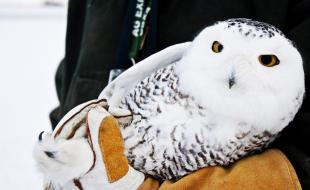 A young female snowy owl. (AP Photo/The Grand Rapids Press, Andrew Kuhn)