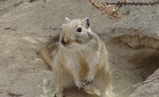The great gerbil, or giant gerbil, is native to Central Asia. This rodent may have carried the Black Death to Europe. (Photo courtesy Wikimedia Commons.)