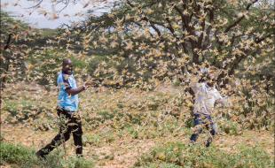 In this photo taken on January 16, 2020, two Samburu men who work for a county disaster team identifying the location of the locusts are surrounded by a swarm of desert locusts filling the air, near the village of Sissia, in Samburu county, Kenya.