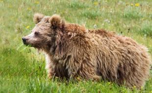 The Himalayan brown bear. (Abdullah Khan/Snow Leopard Foundation)